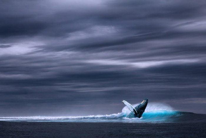 Les baleines sont parmi les espèces marines les plus touchées par la pollution sonore